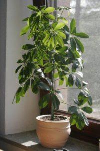 green-umbrella-plant-Schefflera