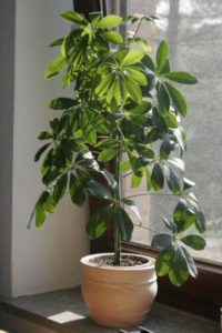 green-umbrella-plant-Schefflera